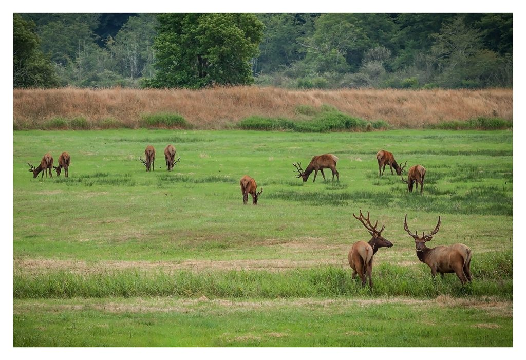 Elk Grazing - Item No. LS26 - $187