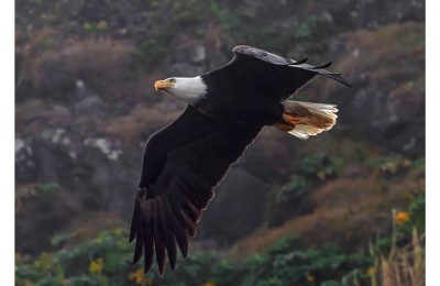 Eagle in Flight - Item No. LS27 - $205