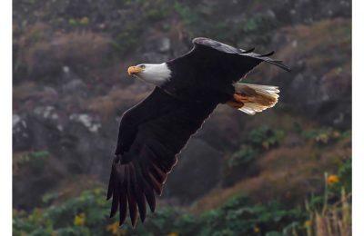 Eagle in Flight - Item No. LS27 - $205
