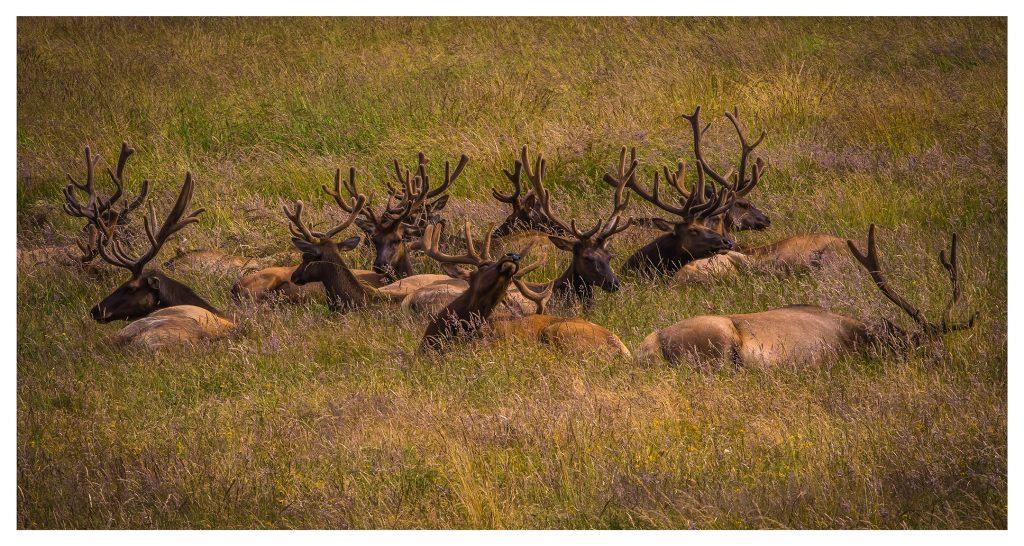 Elk Sunning - Item No. LS38 - $226